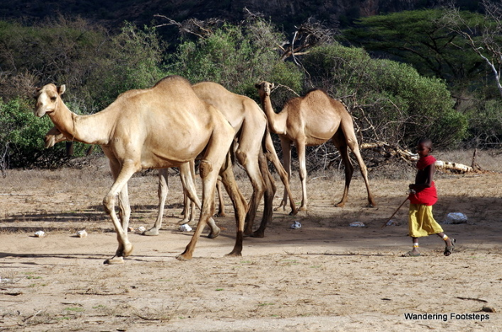 These camels and young camel-herders waltz past our vehicle, parked in the bush near Archer